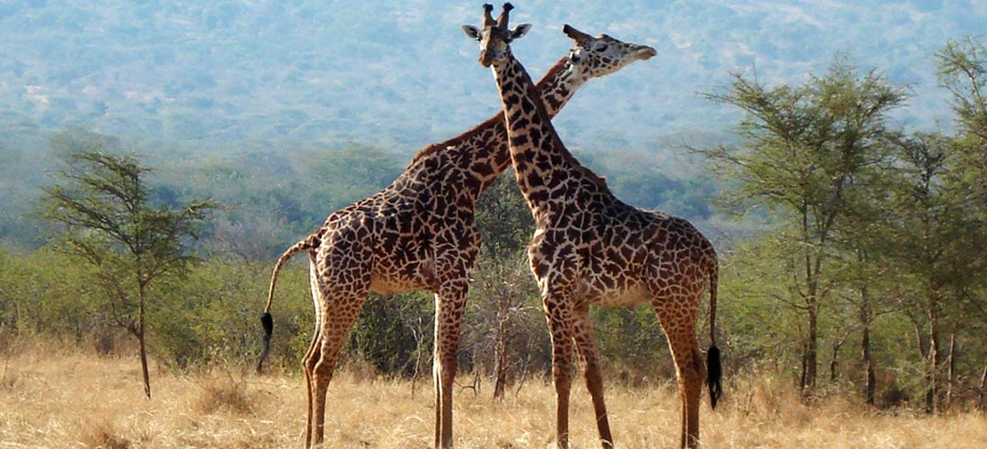 Giraffe at Akagera National Park in Rwanda.