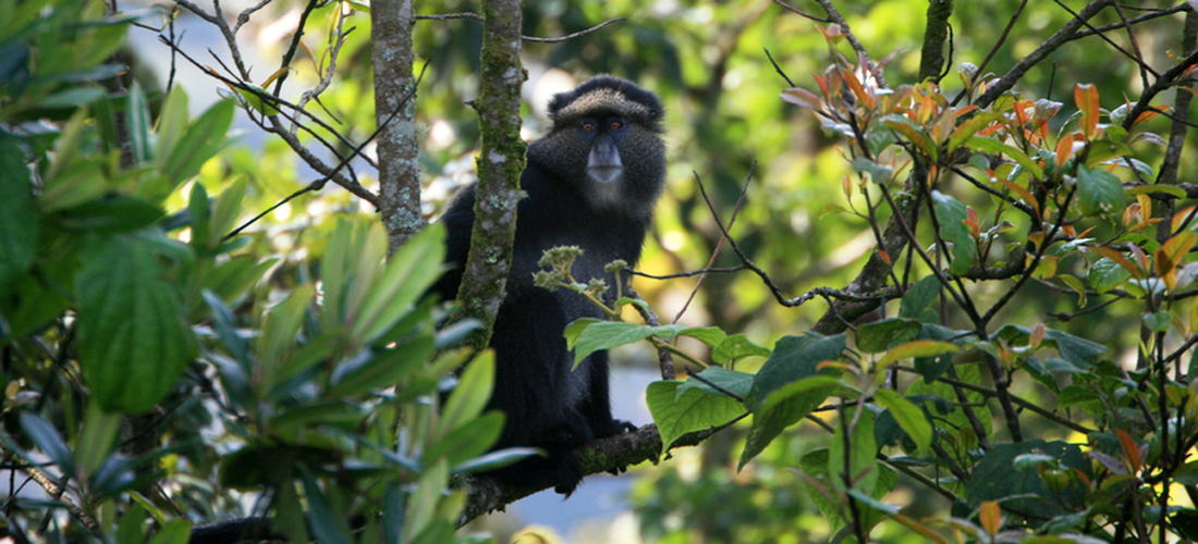 monkey-nyungwe