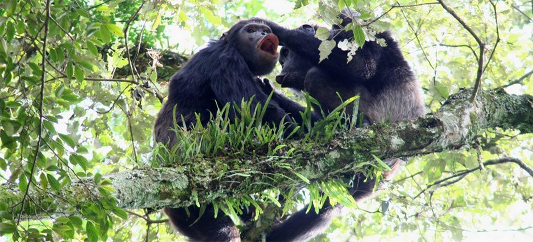 Chimpanzees in Nyungwe forest Rwanda