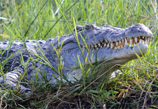 Crocodile at Murchison falls