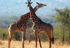 Giraffe in Akagera Rwanda