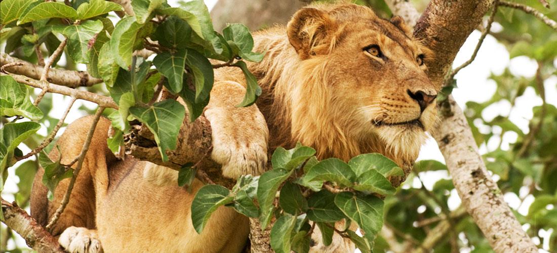Tree climbing lion in Queen Elizabeth National Park.