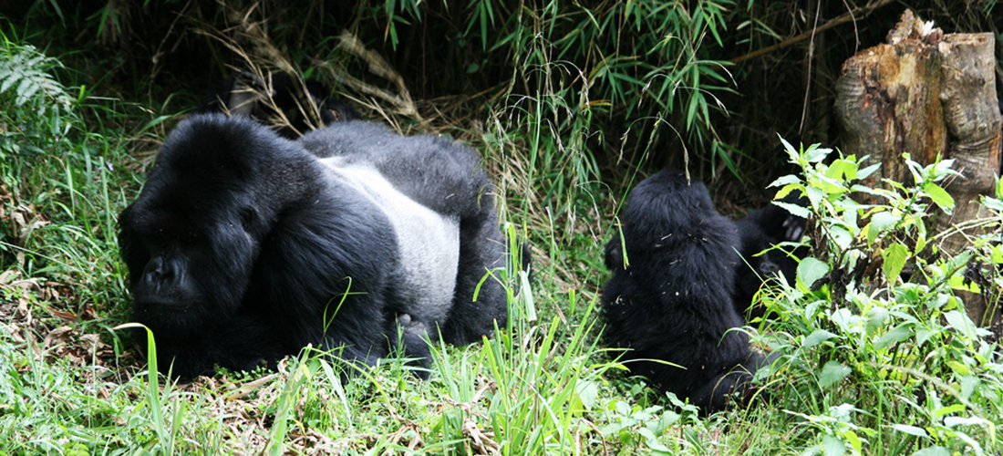 Gorillas at volcanoes National park, Rwanda