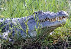 Crocodile at Murchison falls