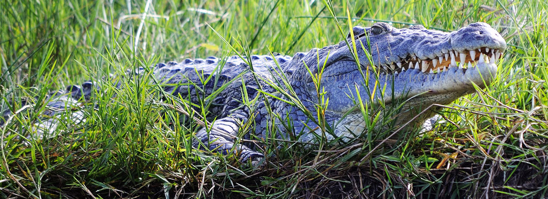 Crocdile Murchison Falls