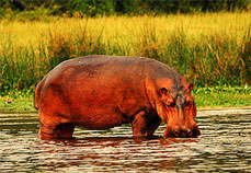 Hippopotamus in Kazinga Channel