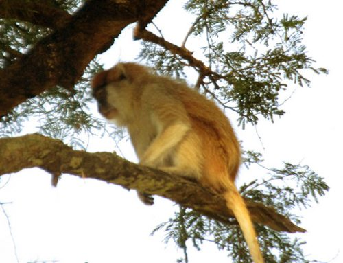 8 Days Uganda Primates Watch Safari