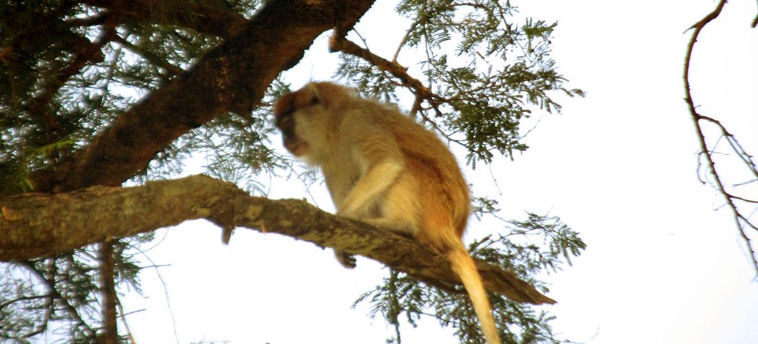 Monkey seen while on primate safari to Uganda