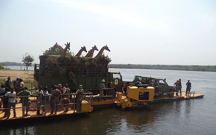 Giraffes crossing Ready to cross River Nile