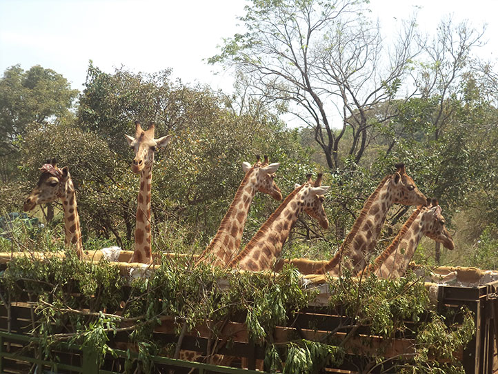 Giraffes-were-all-dusty-on-arrival-at-their-release-point