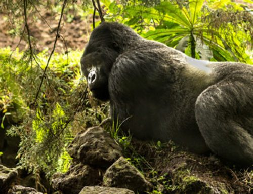 Gorillas push Uganda to the top 19 destinations to visit next year